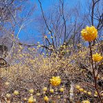 檜洞丸(丹沢) 日帰り登山 ミツマタの群生と大展望の稜線