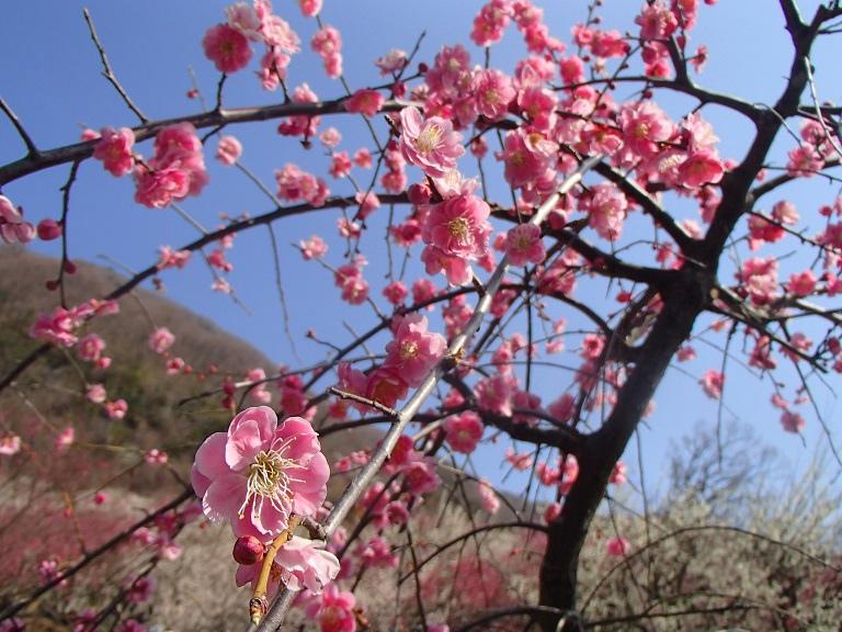 幕山ハイキング ―― 湯河原梅林 「梅の宴」 ――