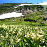 双六岳のコバイケイソウのお花畑