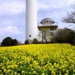 大楠山(三浦半島)  菜の花畑と衣笠山公園さくらまつり