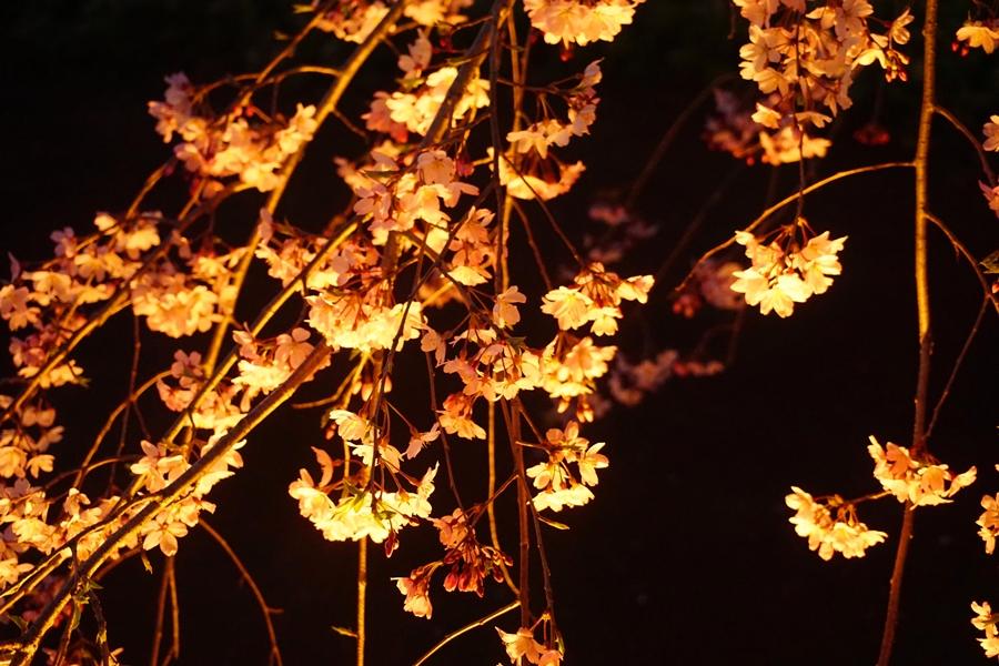 【花見観光】 六義園のしだれ桜と庭園のライトアップ