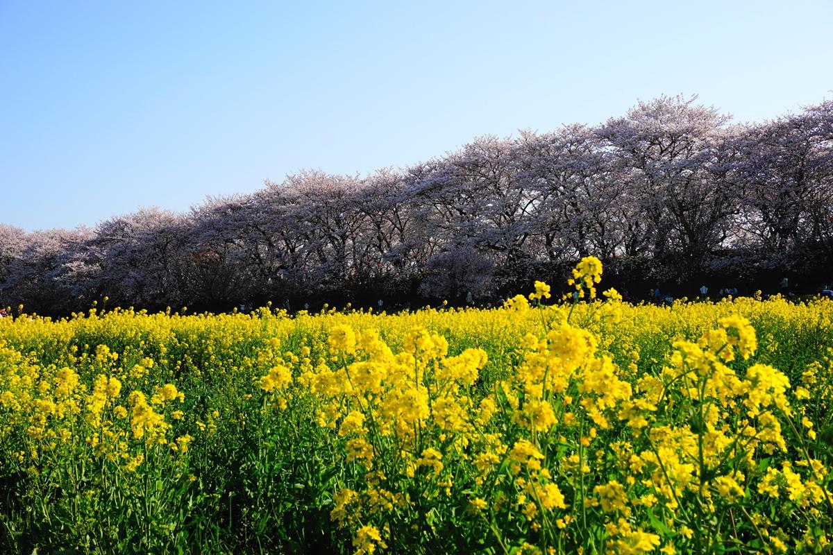 幸手権現堂桜堤 ~~さくらまつり 満開の桜と菜の花~~