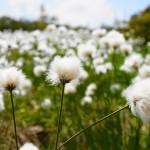 【尾瀬】田代山・帝釈山 オサバ草祭りとワタスゲの群生 雄大な湿原登山