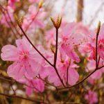 蕨山(奥武蔵) アカヤシオとミツバツツジ咲き誇る春の日帰り登山
