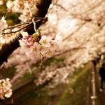 山高神代桜 日本三大桜の1つ山梨県北杜市の桜名所