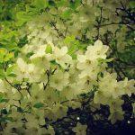 【日光】半月山~社山 日帰り登山 シロヤシオとミツバツツジの大群生