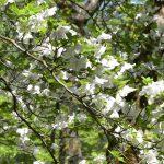 【丹沢】畦ヶ丸登山 満開のシロヤシオと新緑の渓流ハイキング