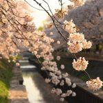 【お花見】東京都杉並区・善福寺川緑地公園の桜風景
