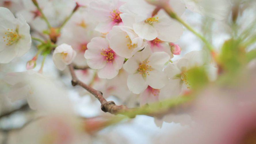 【善福寺川】物寂しい中で迎えた満開の桜
