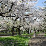 【善福寺川】雪にも負けず満開が続いていた桜