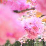 【東京・荻窪】春の大田黒公園 満開の桜(サトザクラ)