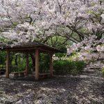 沼津アルプス縦走登山 満開の桜の香貫山