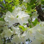 【奥多摩】蕎麦粒山~川苔山 満開のシロヤシオ咲く春の登山