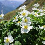 谷川岳〜茂倉岳 ハクサンイチゲ満開の夏山縦走登山